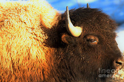 Photograph - Eyes Of The Bison Spring 2018 by Adam Jewell