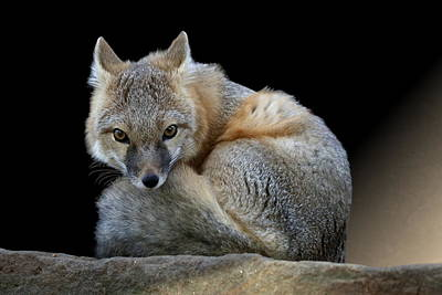 Photograph - Eyes Of The Fox by Debi Dalio