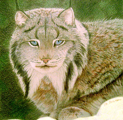 Canadian Lynx Drawing - Eyes Of The Lynx by Nils Bifano