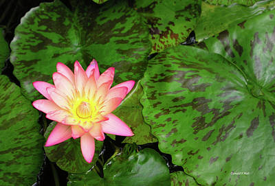 F6 Water Lily Art Print by Donald k Hall