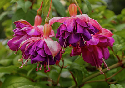 Photograph - Fabulous Fuchsias by Venetia Featherstone-Witty