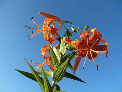 Fabulous Tiger Lily Art Print by Tina M Wenger