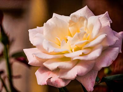 Photograph - Face Behind A Rose by Robin Zygelman