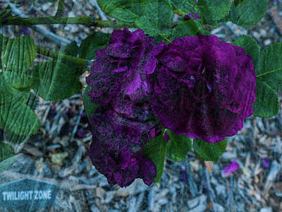 Photograph - Face In A Rose by Randy Sylvia