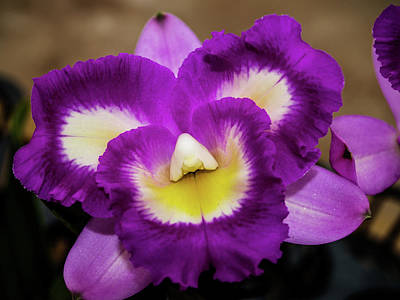 Photograph - Face In The Orchid by Randy Sylvia