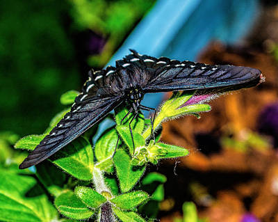 Photograph - Face Of A Pipevine Swallowtail by Nick Zelinsky