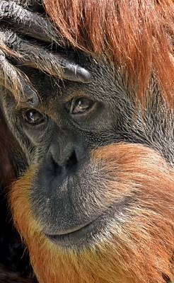 Photograph - Face Of An Orangutan by Werner Lehmann