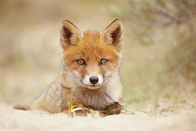 Face Of Innocence - Red Fox Kit Art Print by Roeselien Raimond