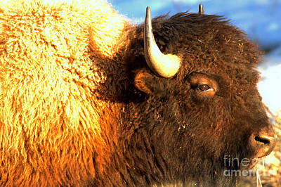 Photograph - Face Of The Bison Spring 2018 by Adam Jewell