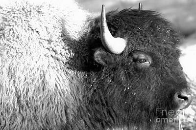 Photograph - Face Of The Bison Spring 2018 Black And White by Adam Jewell