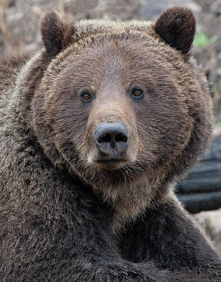 Photograph - Face Of The Grizzly by Mark Miller