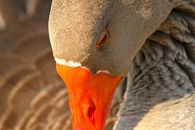 Photograph - Face Of The Toulouse Goose by Adam Jewell