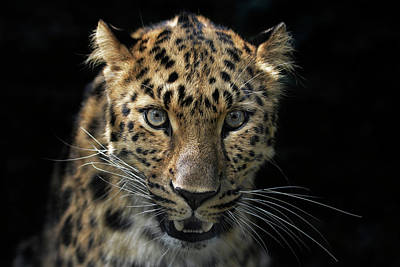 Portraits Royalty-Free and Rights-Managed Images - Face To Face With The Panther by Joachim G Pinkawa