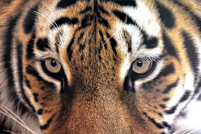 Tiger Eye Photograph - Face To Face With The Tiger by Joachim G Pinkawa