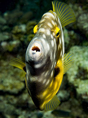 Photograph - Face To Face With Whitespotted Filefish by Jean Noren