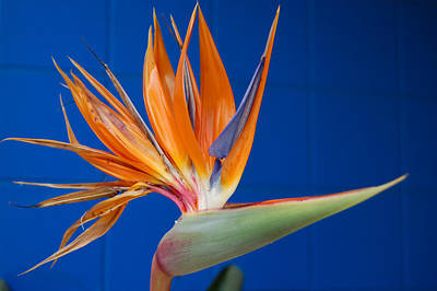 Photograph - Facing The Bird Of Paradise by Barbara J Blaisdell