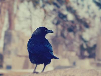 Crow Image Photograph - Fade Into Crow by Gothicrow Images