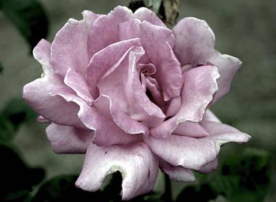 Faded Beauty Rose 0226 H_2 Art Print
