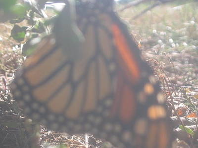 Photograph - Faded Monarch  by Iris Newman