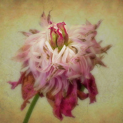 Photograph - Faded Peony by Garry McMichael