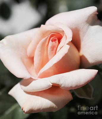 Photograph - Faded Pink Rose by Danielle Groenen