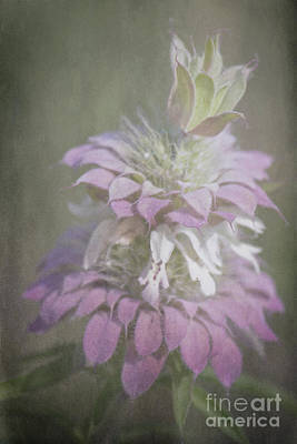 Horsemint Photograph - Faded Purple by Lisa Holmgreen