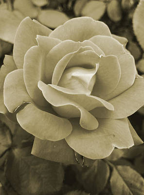 Photograph - Faded Rose by Betty Northcutt