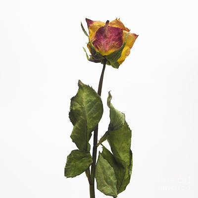 Cut Out Photograph - Faded Rose Flower by Bernard Jaubert