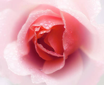 Photograph - Faded Rose by Stephen Anderson