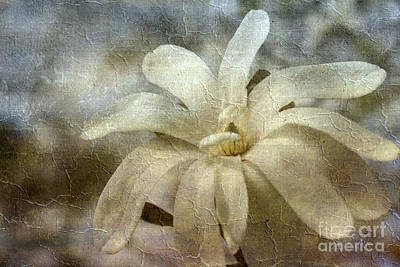 Photograph - Faded Star Magnolia by Benanne Stiens