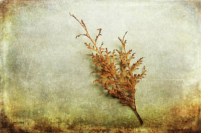 Photograph - Faded Thuja by Randi Grace Nilsberg