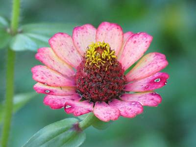Photograph - Faded Zinnia by MTBobbins Photography