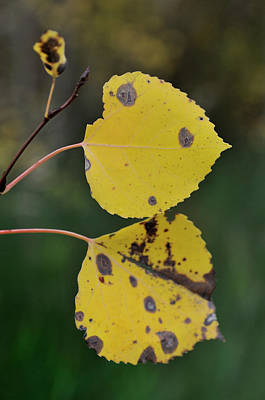 Photograph - Fading Aspen I by Ron Cline