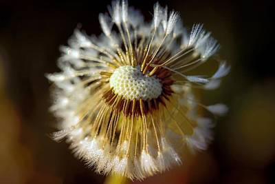 Photograph - Fading Dandelion  by Sherman Perry