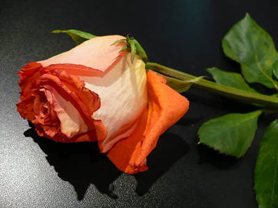 Photograph - Fading Rose by Florene Welebny