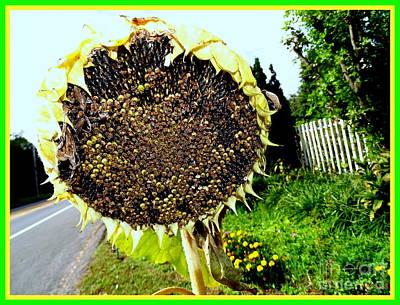 Photograph - Fading Sunflower by Ed Weidman