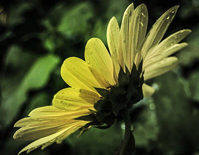 Photograph - Fading Sunflower by Leticia Latocki