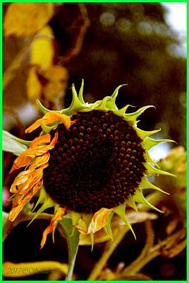 Photograph - Fading Sunflower by Sonali Gangane