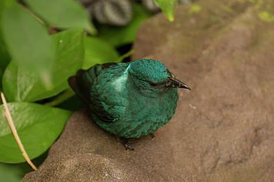 Photograph - fairy Bluebird 2 by Chris Flees