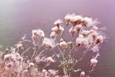 Photograph - Fairy Cotton by Shawna Rowe