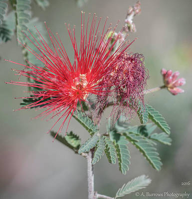 Photograph - Fairy Duster Red by Aaron Burrows