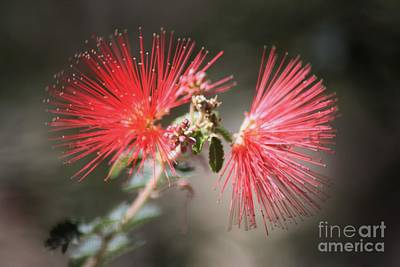 Photograph - Fairy Duster by Sheila Ping