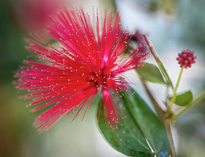 Photograph - Fairy Duster by Susie Weaver