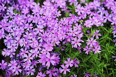 Photograph - Fairy Foxglove Purple Flowers  by Jenny Rainbow