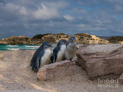 Photograph - Fairy Penguins by Elaine Teague