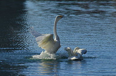 Photograph - Fairy Swans by Denise Mazzocco