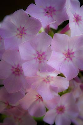 Phlox Paniculata Photograph - Fairy Tale Phlox by Teresa Mucha