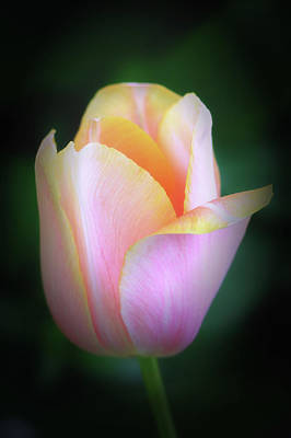 Photograph - Fairy Tale Tulip by Michael Hubley