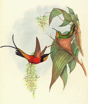 Animals Drawing - Fairy Topaz by John Gould