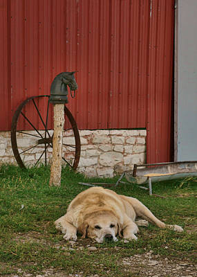 Photograph - Faithful - Farm Dog by Nikolyn McDonald